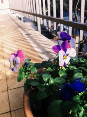 2015, Pansies (carcioneelena) Tags: pansies white pink blue flowers nature home balcony sunlight capture vsco