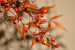 Autumn in San Diego (The Spirit of the World) Tags: autumn fall sandiego usa america california lantana berries plant landscape nature macro