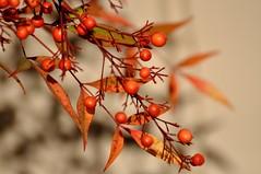 Autumn in San Diego (The Spirit of the World) Tags: autumn fall sandiego usa america california lantana berries plant landscape nature macro