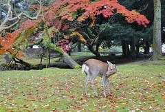 Nara's Sika Deer (jpellgen) Tags: fall autumn 2016 nikon d7000 november 1770mm nara japan nihon nippon kansai japanese  world heritage   unesco asia sigma leaves leaf koyo momiji sika deer animals