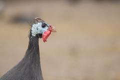 247: Profile of a Guinea Fowl (JKLsemi) Tags: slaterunmetropark historicalfarm bird guineafowl project365 project365247 year7
