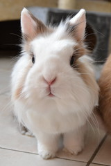 Fluffy (peachmarine) Tags: lapin pinou extra nain selection tetedelion ttedelion rabbit bunny dwarf lionhead animal pet