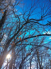 Low in the sky (Marguerite Elliott) Tags: falling hanging maple afternoon branch tree bare leaves leaf cold blue sky sun