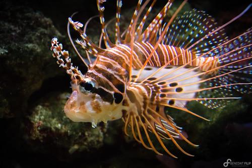 Red lionfish / Pazifischer Rotfeuerfisch