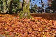 Fallen Leaves (jpellgen) Tags: japan japanese nihon nippon  ishikawa kanazawa kenrokuen garden zen     asia nikon 2016 fall autumn sigma 1770mm d7000 leaves leaf momiji koyo maple november travel honshu park nature scenery