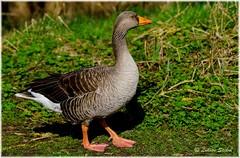 Lonesome (lukiassaikul) Tags: wildlifephotography wildbirds wildanimals fauna largebirds goose geese greylaggoose
