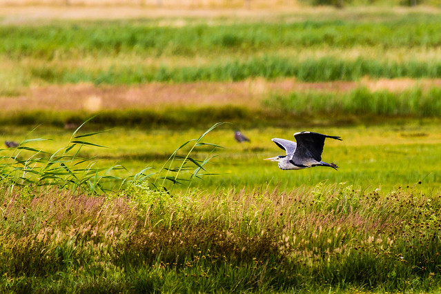 Skimming the reeds