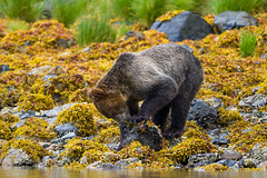 Grizzly Bear, Knights Inlet, Canada (danny.mccreadie2) Tags: canada grizzlybear knightsinlet