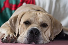 Jabba the Mutt (Ollie Smith Photography) Tags: dog pet 50mm nikon african south mastiff mansbestfriend boerboel lightroom shallowdepthoffield jowls rescuedog jabbathemutt d3100 50mmafslens