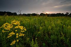 Overgrown (jrobfoto.com) Tags: flowers sunrise landscape raw sony goldenrod wildflowers prairie fullframe alpha facebook lightroom springbrook twitter bitterweed 500px rosinweed a7r springbrookprairie tumblr