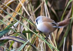 Bearded Tit (-terry-) Tags: rspb newportwetlandsnaturereserve nature wildlife bird animal birds tit beardedtit beardedreedling