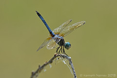 BLUE DASHER 12 (k.nanney) Tags: insect dallas nikon texas dragonflies tx whiterocklake odonata libellulidae texaswildlife skimmers dallascounty bluedasher nanney kennanney kennethnanney phahydiplaxlongipennis d7200 tamronsp150600mmf563divcusd