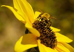 Bee Macro (Karen McQuilkin) Tags: wild flower yellow hike beemacro karenmcquilkin