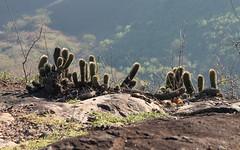 Cactus (Vinicius Montgomery) Tags: cactus nature minas gerais montgomery vincius prof pedro