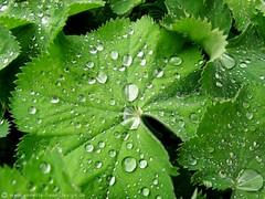 Ab-Perlen / pearls dripping off (photodesignette) Tags: waterdrops leafs wassertropfen alchemilla frauenmantel ladysmantle btter