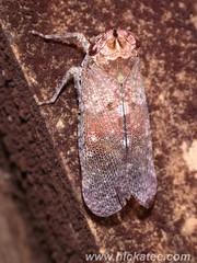 Froghopper - Family Cercopidae (Dis da fi we) Tags: forest bug rainforest belize wildlife culture toledo jungle puntagorda froghopper hickatee cercopidae toledodistrict hickateecottages hickateebelize hickateepuntagorda