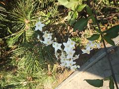 DSCF9256 (en-ri) Tags: verde giallo fujifilm aghi bianco fiorellini