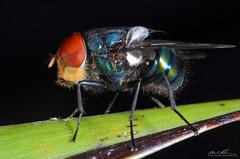 HMBF 1 (striving67) Tags: hairy macro insects blow flys maggot diptera