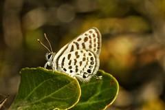 Tarucus theophrastus Laberinto,Tigre azul (alcedofoto.) Tags: