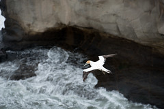 Gannet (John Willoughby) Tags: newzealand wild storm west weather coast wildlife auckland nz muriwai