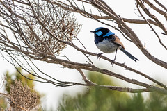Male Superb Fairy Wren 2 (RixPix56) Tags: male birds superb fairy wren malesuperbfairywren