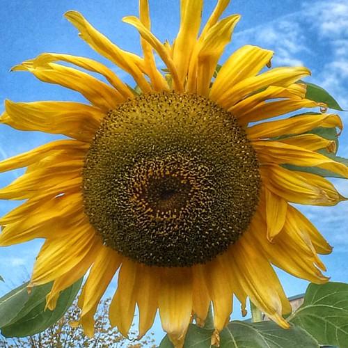 #steinsel #luxembourg #sunflower
