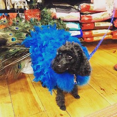 Dusty is one proud peacock!! #Howlaween #trickforatreat #Portland #igersmaine