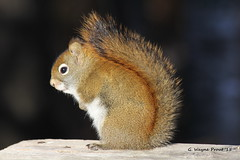 American Red Squirrel (Tamiasciurus hudsonicus) (Gerald (Wayne) Prout) Tags: ontario canada canon squirrels conservation animalia mammalia timmins rodentia northernontario prout sciuridae tamiasciurushudsonicus chordata americanredsquirrel canoneos60d herseylake herseylakeconservationarea cityoftimmins tamissciurus geraldwayneprout