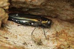 Agrilus biguttatus - Oak Jewel Beetle (Mark Gurney) Tags: flickr coleoptera buprestidae