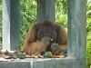 Big male orangutan eating (Animal People Forum) Tags: rescue project indonesia wildlife palm borneo oil orangutan ape primate greatape rehabilitation palmoil wildliferehabilitation samboja lestari