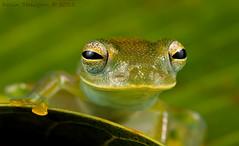Cochranella granulosa (Kevin Stohlgren) Tags: macro glass costarica sony sigma frog osa a77 osapeninsula 70mm granular glassfrog granulosa cochranella