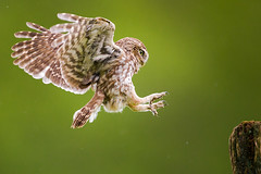 Little Owls (iesphotography) Tags: nature canon wildlife owl 500mm birdofprey naturephotography littleowl uknature wildlifephotography ukwildlife littleowls 1dx canon500mm canon1dx