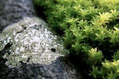 52/115. moss and lichen (Surfchild.) Tags: 52115 115in2015 115challenge2015