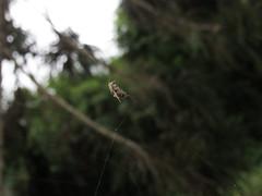 Little Spider (Joo Textor) Tags: spider arachnid aranha arachnide