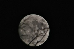 Almost the supermoon  (Explored 10-13   Thank you) (outdoorpict) Tags: moon shadows craters branches night cloudless bright autumn almostfull
