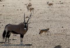 Oryx/Chacal (José Rambaud) Tags: oryx gemsbok oryxgazella gazella gacela antilope chacal jackal canismesomelas blackbackedjackal wild wildlife salvaje naturaleza nature natureza animal mammals mamiferos etosha etoshanationalpark namibia africa afrika travel viaje nationalpark