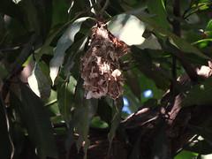 IMG_7501 (mohandep) Tags: nests hessarghattalakekarnatakawildlifenature