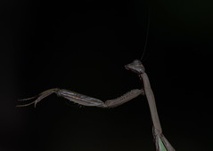 Praying Mantis (Mawrter) Tags: prayingmantis mantis praying blackbackground abstract insect canon nature nj newjersey wild wildlife macro specanimal