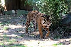 National Zoo - Sumatran tiger (wallyg) Tags: dc districtofcolumbia nationalzoo nationalzoologicalpark rockcreekpark smithsoniansnationalzoo washingtondc zoo tiger sumatrantiger