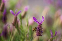 Lavender Kiss (satochappy) Tags: bee spring sydney nsw australia garden lavender tamron canon kiss macro