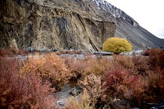 Autumn in Hunza Valley, Pakistan. (najeebmahmud) Tags: nikon nikond810 nature nikkor2470mm nikkor d810 2470mm colorful landscape light wow water yellow sky awesome autumn tree holiday hiking summer serene river red rocks mountains karakoram highway hunza pakistan snow white
