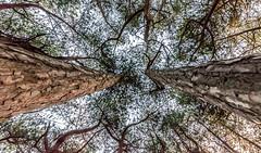 DSC_1271 (Andrew J Horrocks) Tags: formby pinewoods freshfield liverpool trees