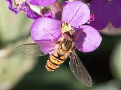IMG_9031.jpg (TonyJ 3006) Tags: episyrphusbalteatus hoverflies