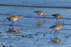 Curlew and Godwits (Hythe Eye) Tags: hythe hampshire southamptonwater curlew godwits blacktailedgodwit