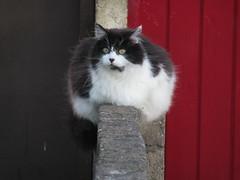 The-Fat-Cat-Sat (gallftree008) Tags: fatcat blackwhiteredgreycodublinireland black blackwhite cat fat animals animal wall walls divided thefatcatsatonawall nature naturesbeauties naturescreations feline