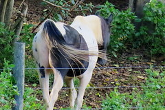 tasuki (Hayseed52) Tags: horse pinto paint walking nature equine