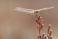 Red Veined Darter (Female) (Moonrhino) Tags: alikessaltflats greece kos kosisland redveineddarter sympetrumfonscolombii tigaki tigakisaltlake closeup darter dragonfly