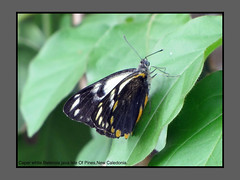 Butterflies-New Caledonia (Douglas Dew butterflies) Tags: caper white belenois java