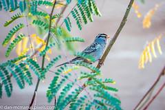 White-Crowned Sparrow (Kukui Photography) Tags: canyon ranch arizona bird hdr saguaro sunrise tucson canyonranch