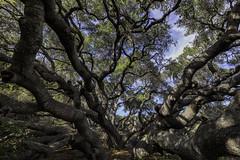 Los Osos Oaks (rianklong) Tags: canon5dmarkii canoneos5dmarkii canonef1635mmf28liiusm lososos california ca centralcoast losososoaksstatenaturalreserve statenaturalreserve oak oaks tree old historic state park reserve bear bears osos poisonoak landscape nature trees